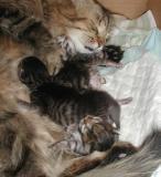 Viiden päivän ikäiset pennut torkkumassa mamman kanssa