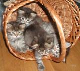 kittens5weeks.jpg