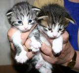 Hip Hop- silver mackerel tabby  white& Harlequin black mackerel tabby white boy