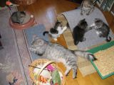 Mom is waching the kittens play -