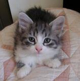 A silver makcerel tabby white cutie!