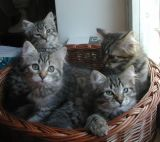 kittens12w10.jpg