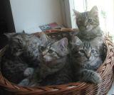 kittens12w5.jpg