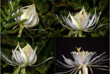 The night blooming cereus unfolds in its swan song.