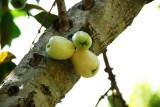 Indigenous White Mountain Apple
