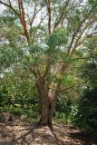 Koa tree (Acacia koa)