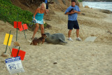 Hawaiian Monk Seal on Ka'alawai Beach