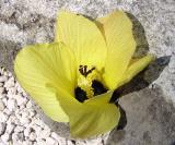 Hau, (Hibiscus tiliaceus)