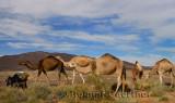 Berber Dromedary camels and donkey grazing on sage brush in Tafilalt basin Morocco