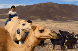 Berber boy leading his brother on a Dromedary while tending to camel and goat herd in Tafilalt basin