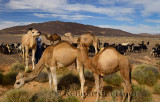 Teenage Berber boy helping his brother onto a Dromedary while tending to camel and goat herd in Tafilalt basin
