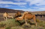 Berber camel and goat herd grazing on sage brush in Tafilalt basin Morocco
