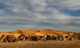 Large group of Dromedary camels sitting with harness and saddles in the Erg Chebbi desert Morocco