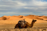 Single Dromedary camel sitting with harness and saddle in the Erg Chebbi desert Morocco