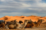 Dromedary camels sitting with harness seats for an evening ride in the Erg Chebbi desert Morocco