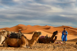 Berber blue man preparing Dromedary camels for an evening ride in Erg Chebbi desert Morocco
