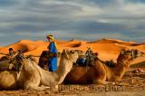 Berber blue men tending Dromedary camels for an evening ride in Erg Chebbi desert Morocco