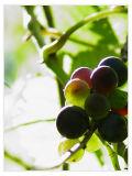 August 12, 2006Ripening Harvest