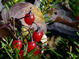 Fall Berries ~ November 10th