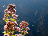 Pond Plants ~ August 30th