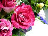 January 14th ~ new roses