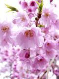 April 27th ~ Cherry Blossom
