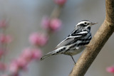 Black and White Warbler0052.jpg