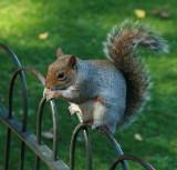 squirrel - St James park.