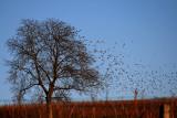 starlings attack.