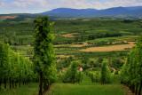 the vineyard in summer