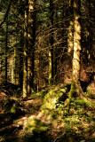 a dark fir forest