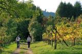 vineyard nearby Mittelbergheim