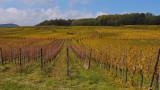 vineyard in autum