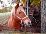cheval roux