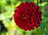 le dahlia rouge