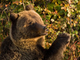 Grizzly Eating Berries