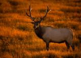 Sunset Bull Elk