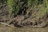 otters on river bank IMG_3218.jpg