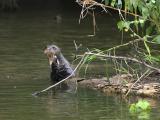 Giant Otter Manu-Peru