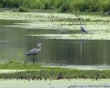 Great Blue Heron Sequence