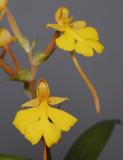 Habenaria rhodocheila Yellow. (Habenaria xantocheila)