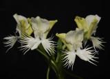 Pecteilis susannae. Good clone.