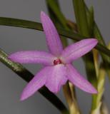 Isabelia violacea. Close-up.