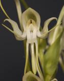Habenaria bractescens. Close-up.