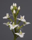 Ponthieva spec. bought as P. orchidioides spike.