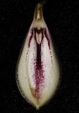 Zootrophion oblongifolius. Interior of flower.