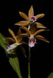 Phaius tankervilliae. (Plant courtesy of Jac Wubben)