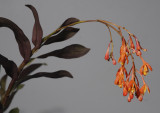 Epidendrum embreei.