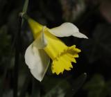 Daffodil family (Amaryllidaceae)