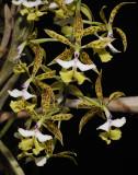 Epidendrum stamfordianum.